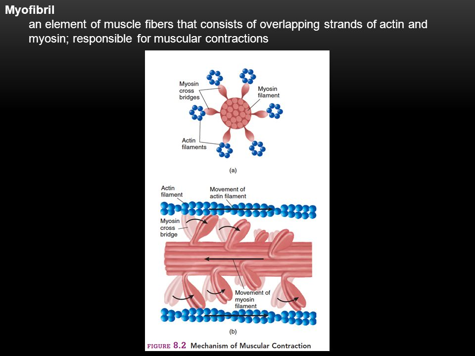 4 Myofibril an element of muscle fibers that consists of overlapping strands of actin and myosin; responsible for muscular contractions