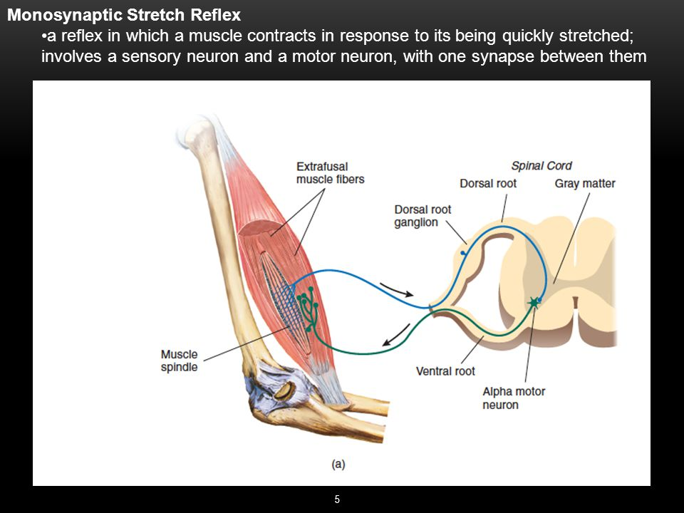 5 Monosynaptic Stretch Reflex a reflex in which a muscle contracts in response to its being quickly stretched; involves a sensory neuron and a motor neuron, with one synapse between them