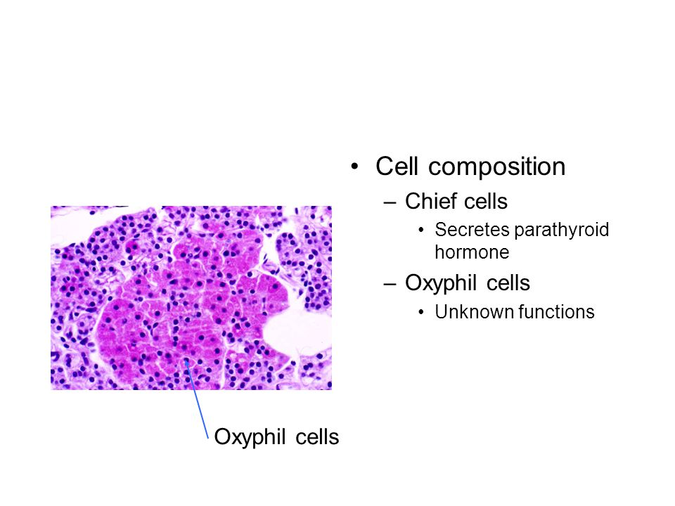 Cell composition –Chief cells Secretes parathyroid hormone –Oxyphil cells Unknown functions Oxyphil cells