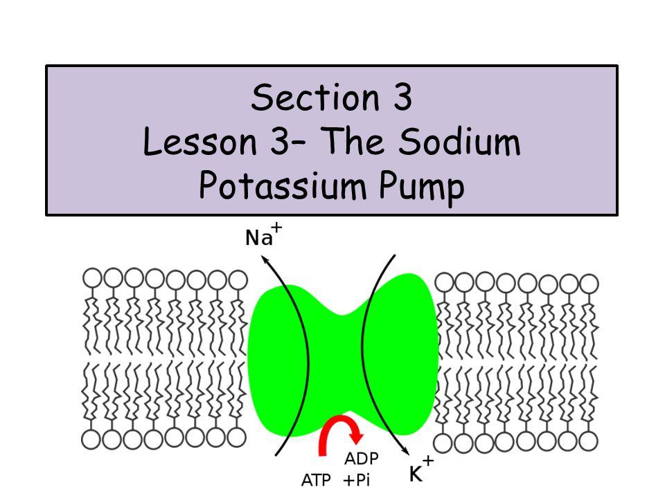 Section 3 Lesson 3 The Sodium Potassium Pump Active Transport