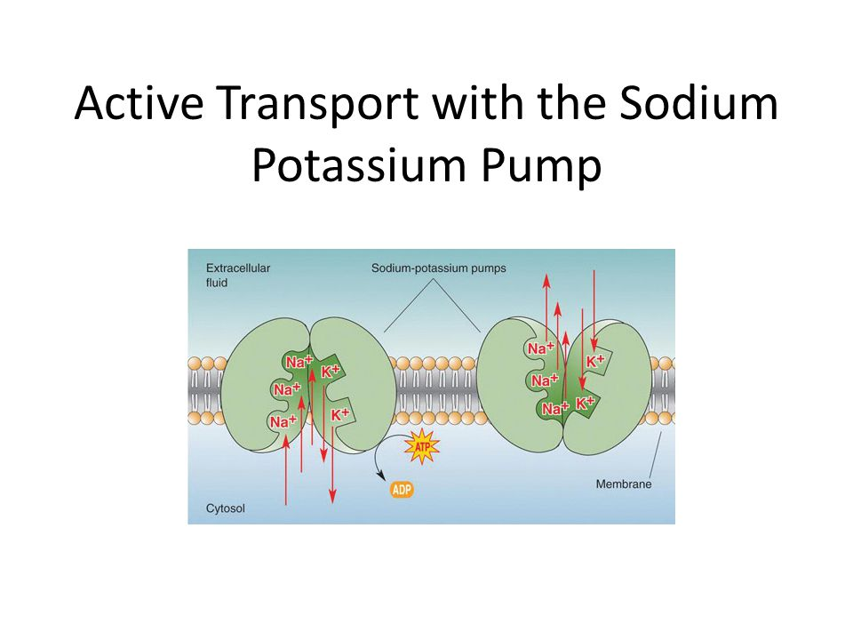 Active Transport With The Sodium Potassium Pump Review Amphipathic