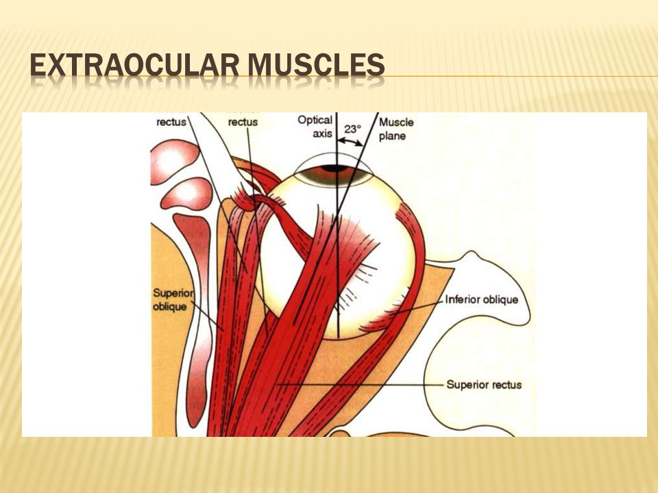 MOHAMMAD REZA AKHLAGHI There are 7 extraocular muscles:  4 rectus ...