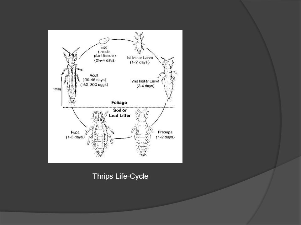 Thrips Life-Cycle