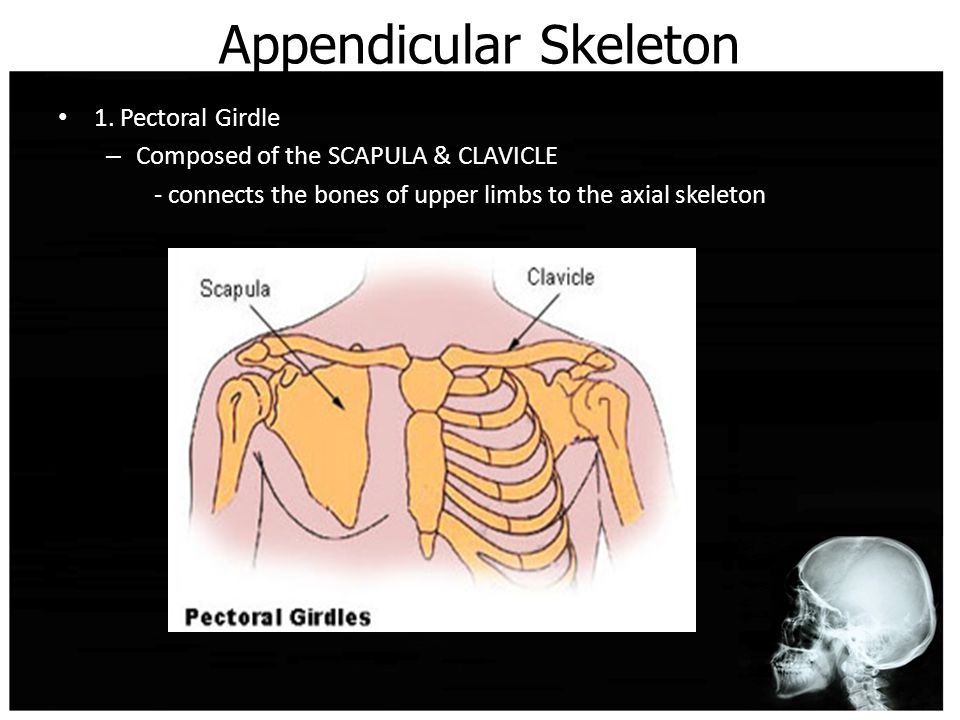 Appendicular Skeleton 1.