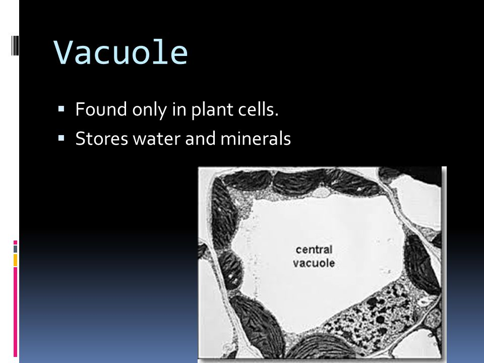  Found only in plant cells.  Stores water and minerals