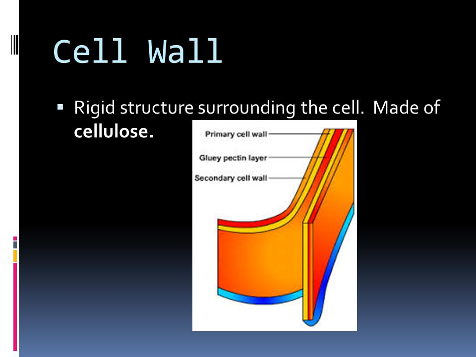  Rigid structure surrounding the cell. Made of cellulose.