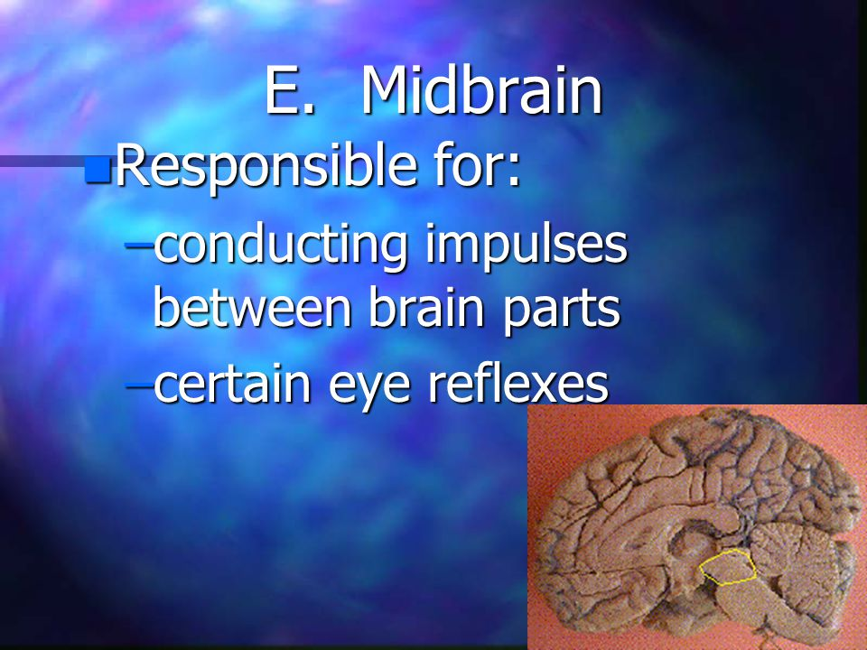E. Midbrain n Responsible for: –conducting impulses between brain parts –certain eye reflexes