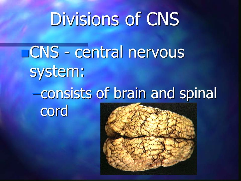 Divisions of CNS n CNS - central nervous system: –consists of brain and spinal cord