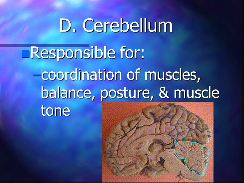 D. Cerebellum n Responsible for: –coordination of muscles, balance, posture, & muscle tone