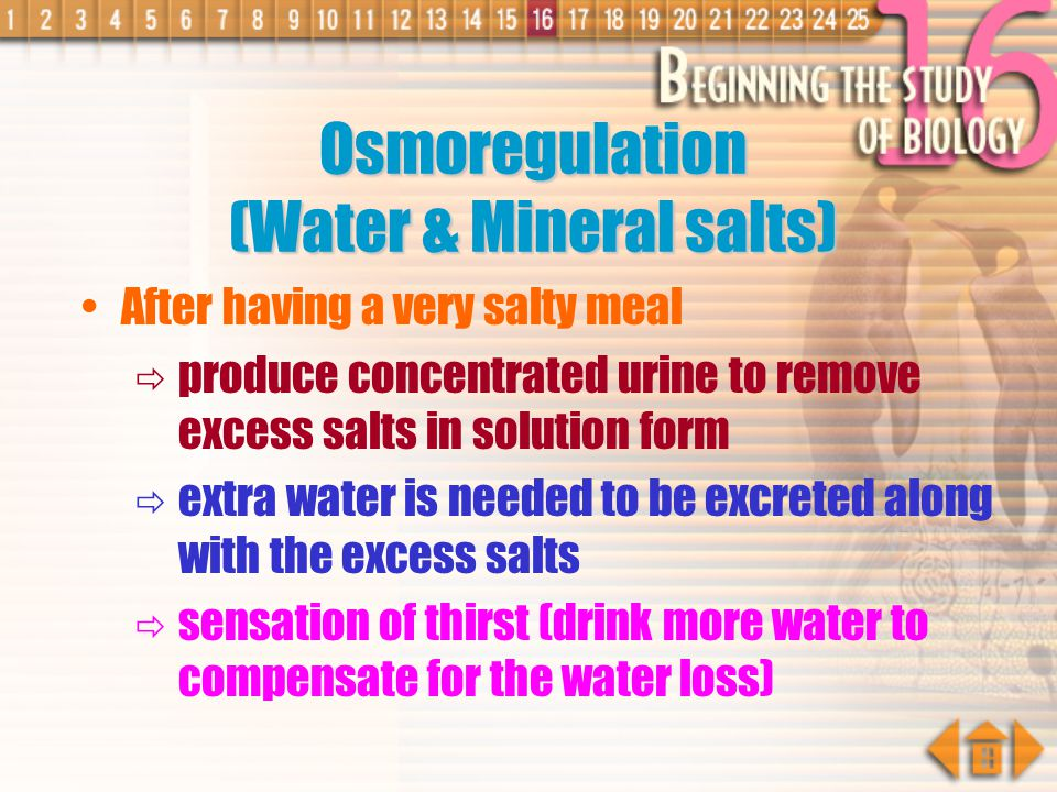 Normal Water Content in Blood After Drinking Diluted Blood Smaller proportion of water is reabsorbed Diluted Urine is produced