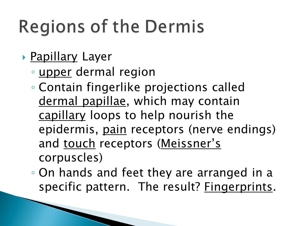 Papillary Layer ◦ upper dermal region ◦ Contain fingerlike projections called dermal papillae, which may contain capillary loops to help nourish the epidermis, pain receptors (nerve endings) and touch receptors (Meissner's corpuscles) ◦ On hands and feet they are arranged in a specific pattern.