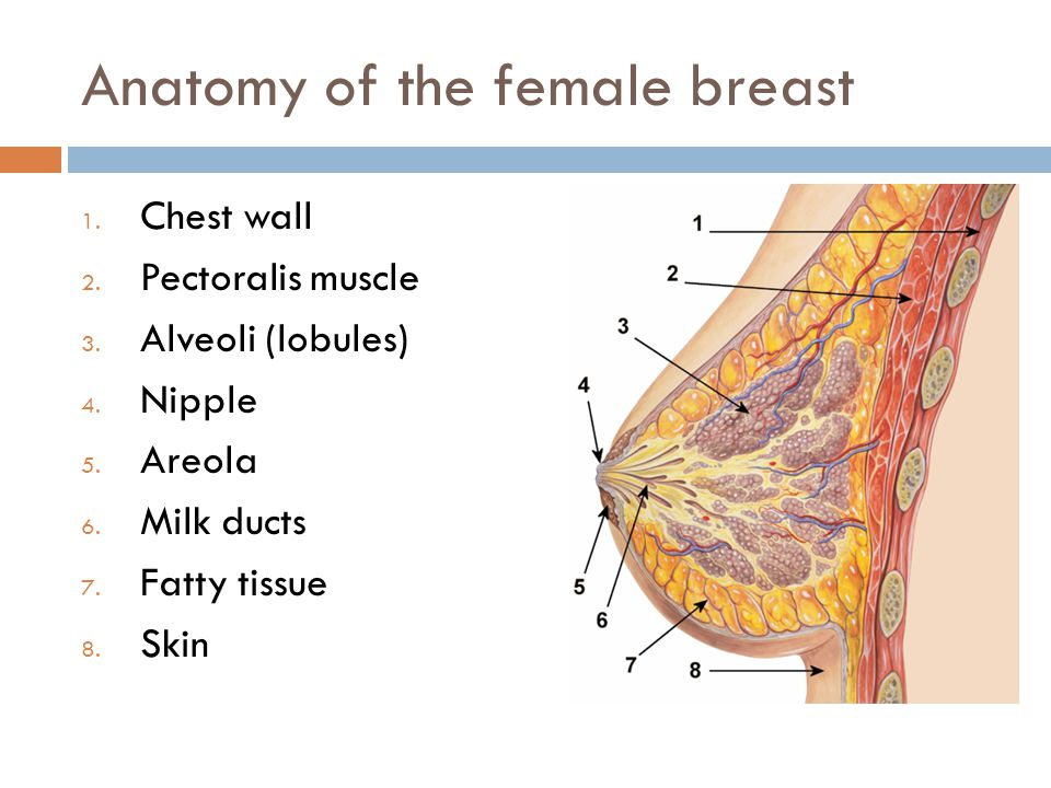 Anatomy of the female breast 1. Chest wall 2. Pectoralis muscle 3.