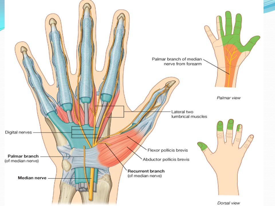 Upper limb HAND DR.RAJ ANATOMY DEPT, WUSM. - ppt download