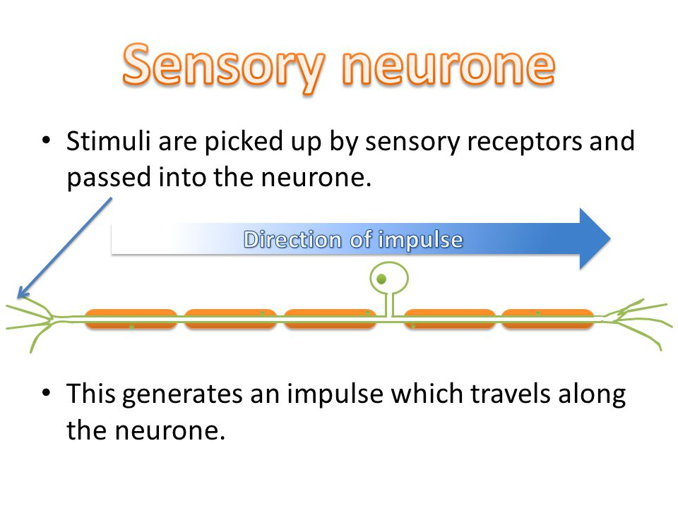 Stimuli are picked up by sensory receptors and passed into the neurone.