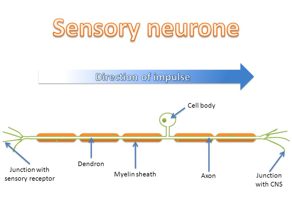 Cell body Axon Myelin sheath Dendron Junction with sensory receptor Junction with CNS