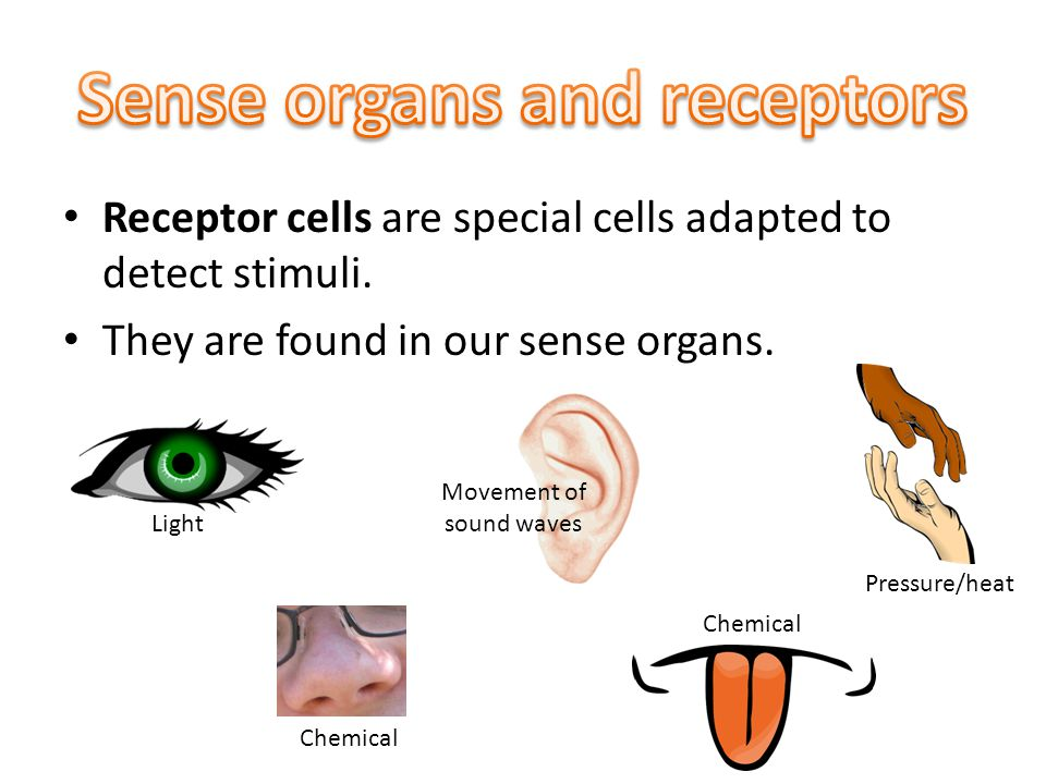 Receptor cells are special cells adapted to detect stimuli.
