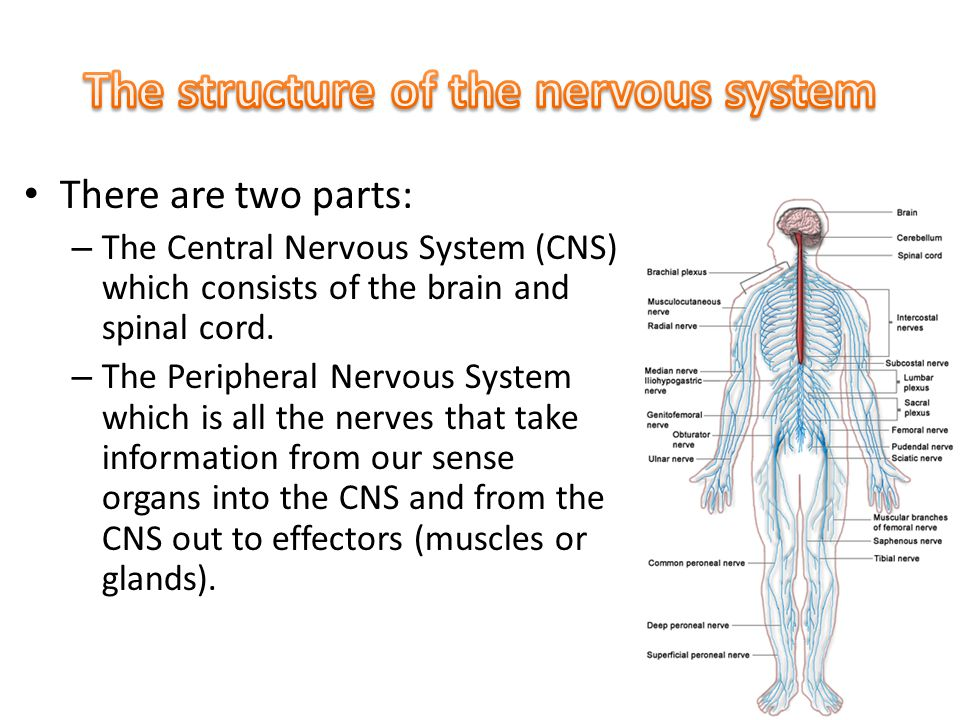 There are two parts: – The Central Nervous System (CNS) which consists of the brain and spinal cord.