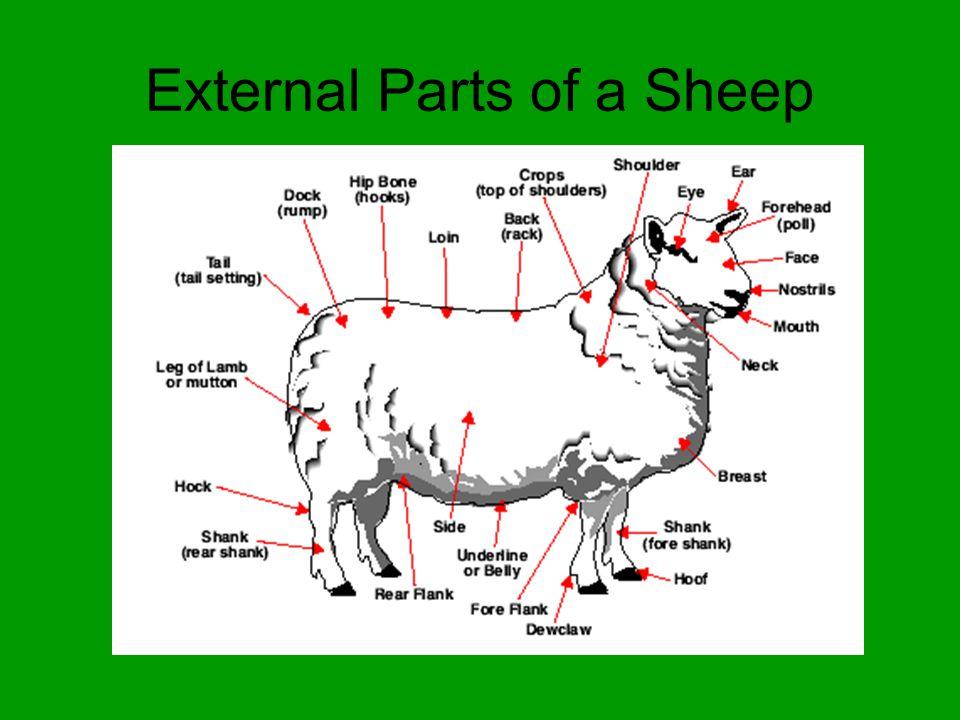 External Anatomy Of Sheep Choice Image - human body anatomy