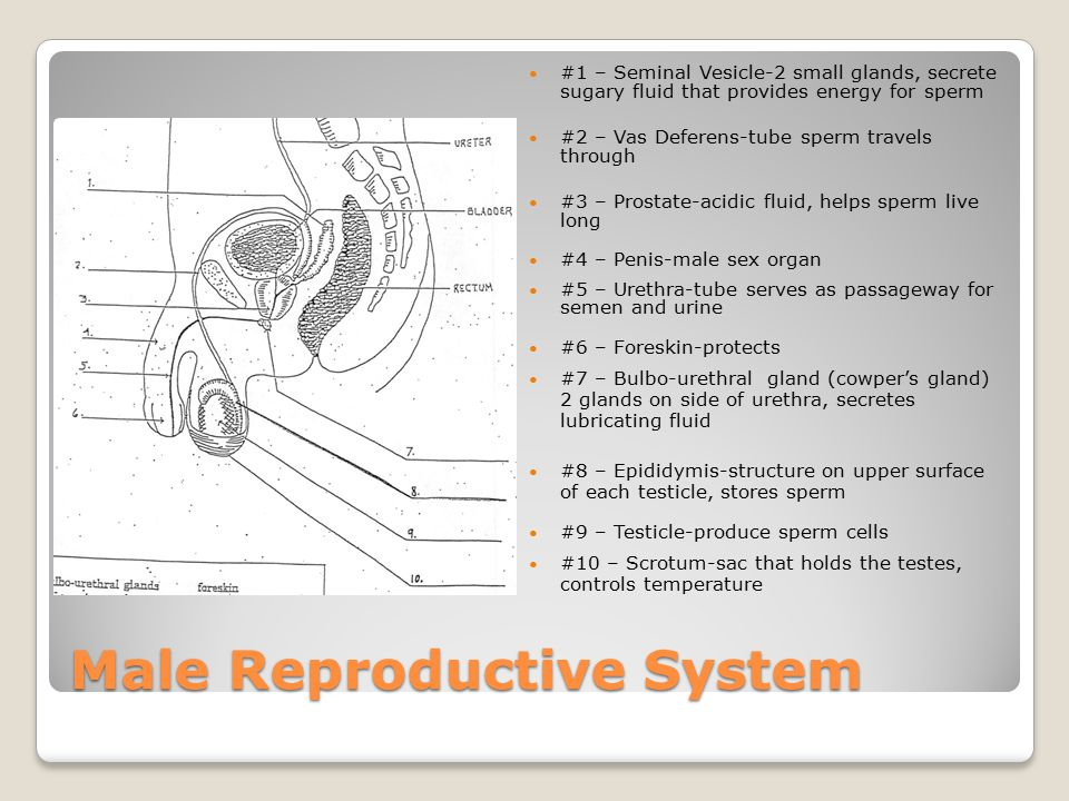 Male and Female Reproductive Systems. Female Reproductive System #1 ...