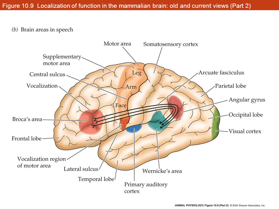 Central nervous system cns brain divisions hypothalamus medulla 13 figure 109 localization of function in the mammalian brain old and current views part 2 ccuart Images