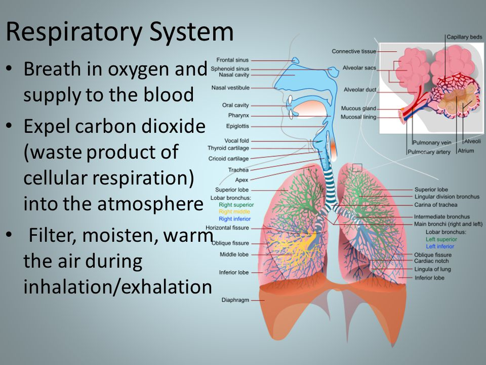 Respiratory System Breath in oxygen and supply to the blood Expel carbon dioxide (waste product of cellular respiration) into the atmosphere Filter, moisten, warm the air during inhalation/exhalation