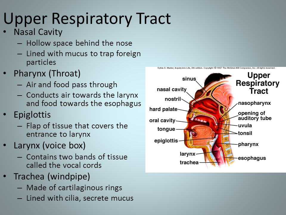 Upper Respiratory Tract Nasal Cavity – Hollow space behind the nose – Lined with mucus to trap foreign particles Pharynx (Throat) – Air and food pass through – Conducts air towards the larynx and food towards the esophagus Epiglottis – Flap of tissue that covers the entrance to larynx Larynx (voice box) – Contains two bands of tissue called the vocal cords Trachea (windpipe) – Made of cartilaginous rings – Lined with cilia, secrete mucus