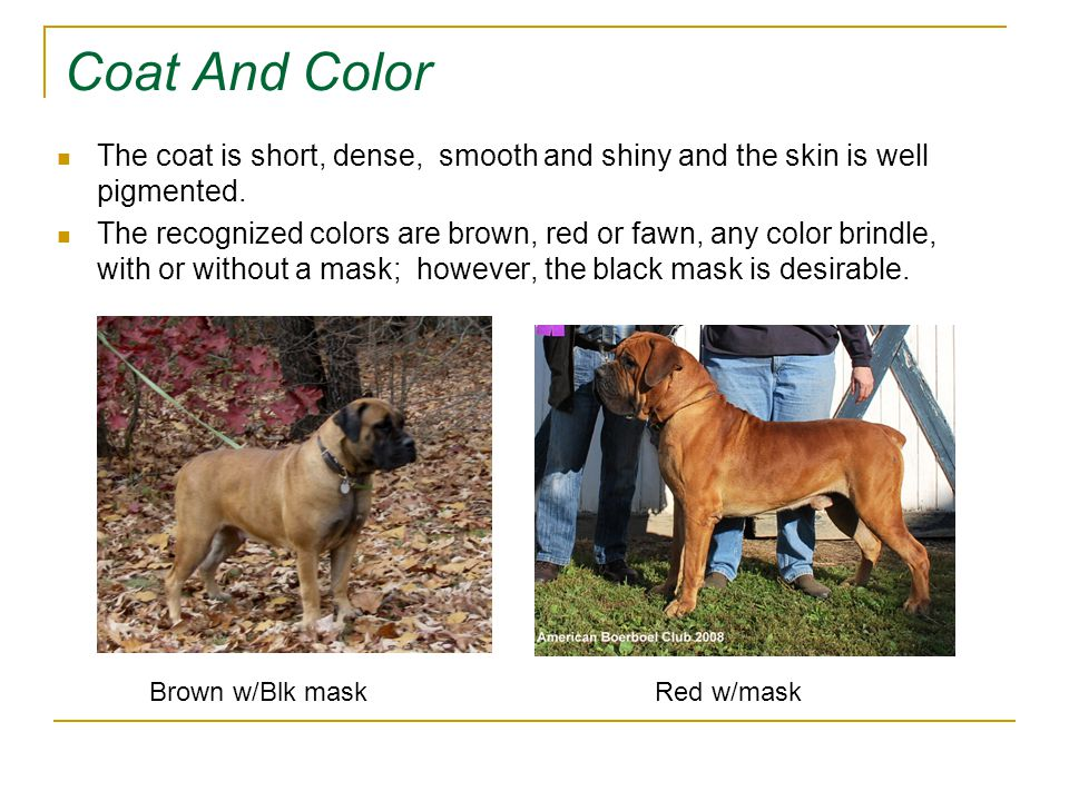 The History of the Boerboel  South African breed  Short
