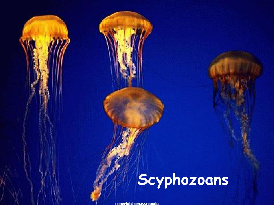 1 Cnidarians & Ctenophorans 1copyright cmassengale. - ppt download