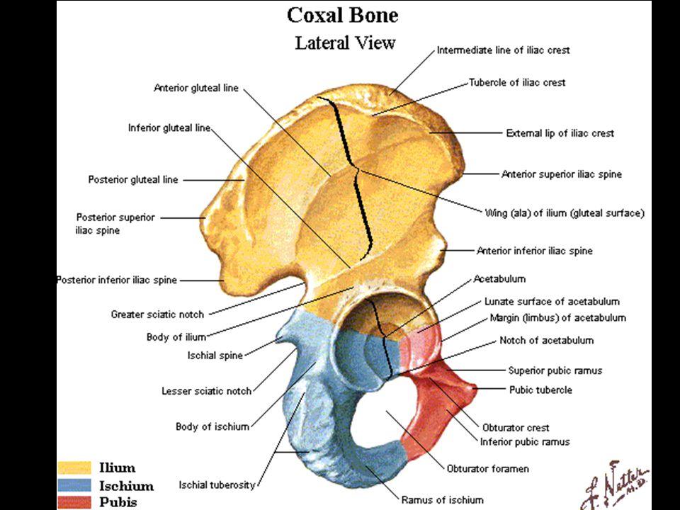Pelvic Bone Regions Diagram - DIY Enthusiasts Wiring Diagrams •