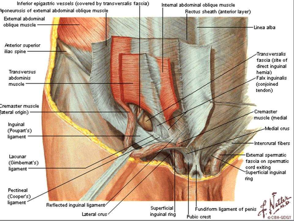 Penis Injury Of The Suspensory Ligament