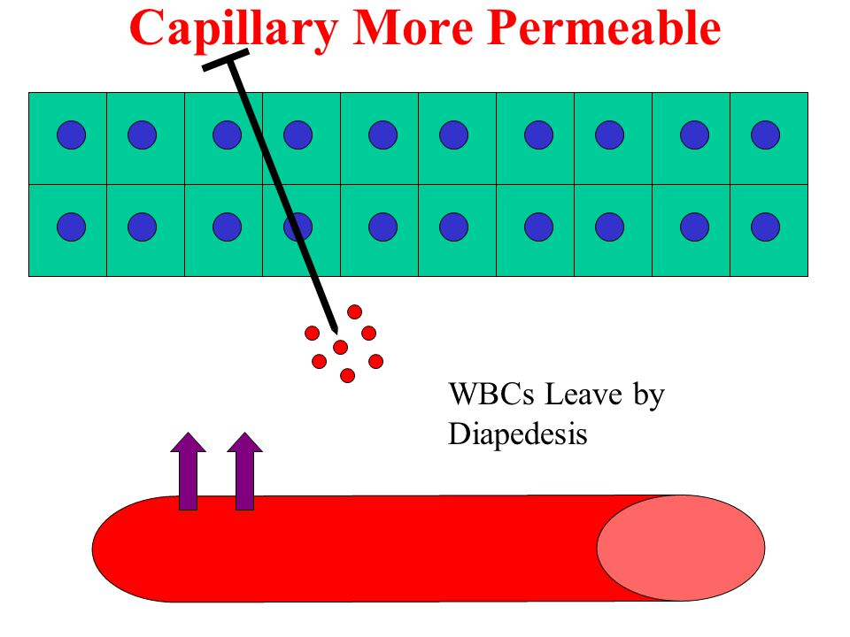 Capillary More Permeable WBCs Leave by Diapedesis