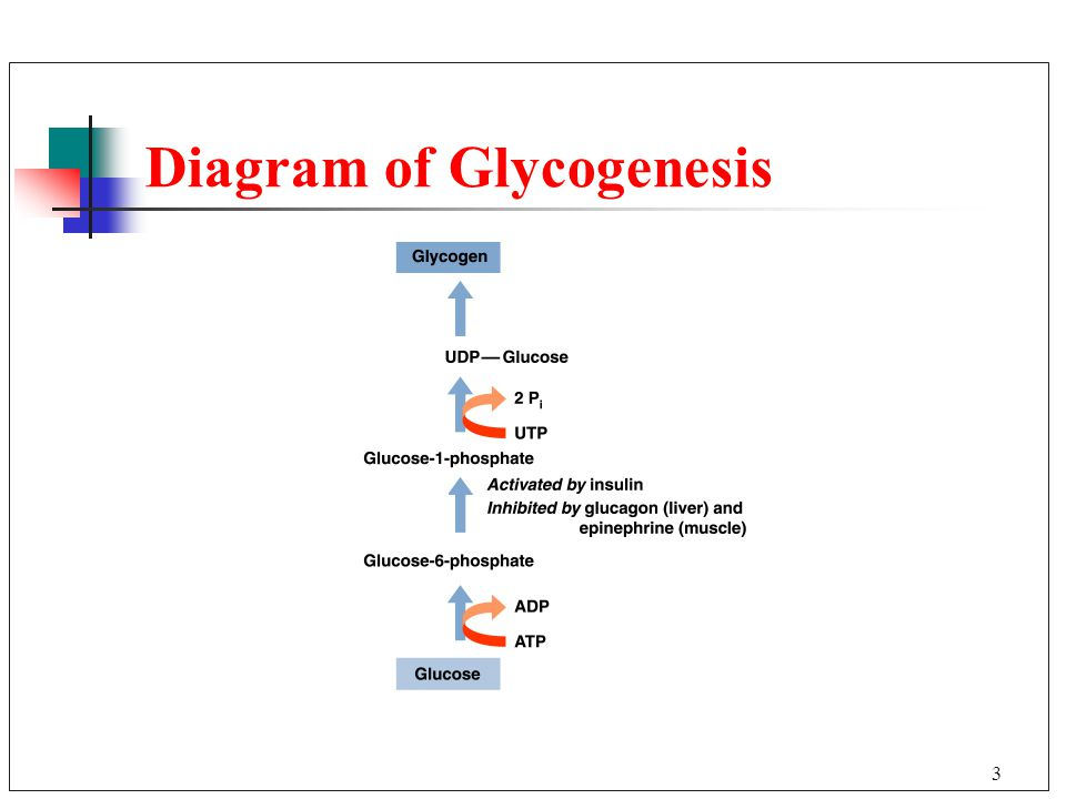 Glycogen Metabolism 238 Gluconeogenesis Glucose Synthesis Chapter