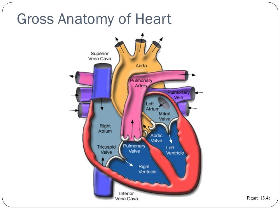 Heart, Respiratory System and Energy Systems. Gross Anatomy of Heart ...