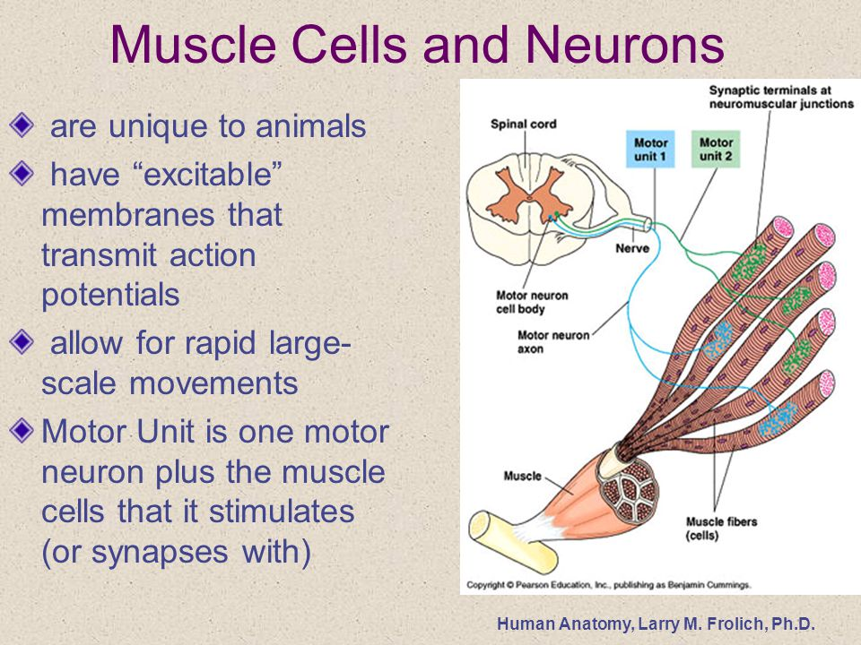 Human Anatomy Larry M Frolich Phd Muscle Tissue And Function 1