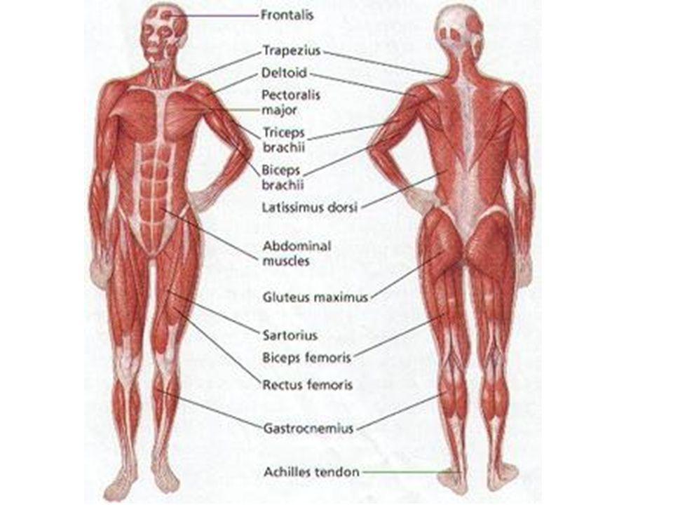 P Muscular System System Skeletal Muscle Structure Skeletal