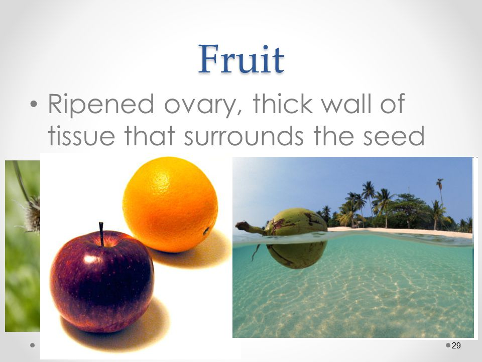 29Fruit Ripened ovary, thick wall of tissue that surrounds the seed