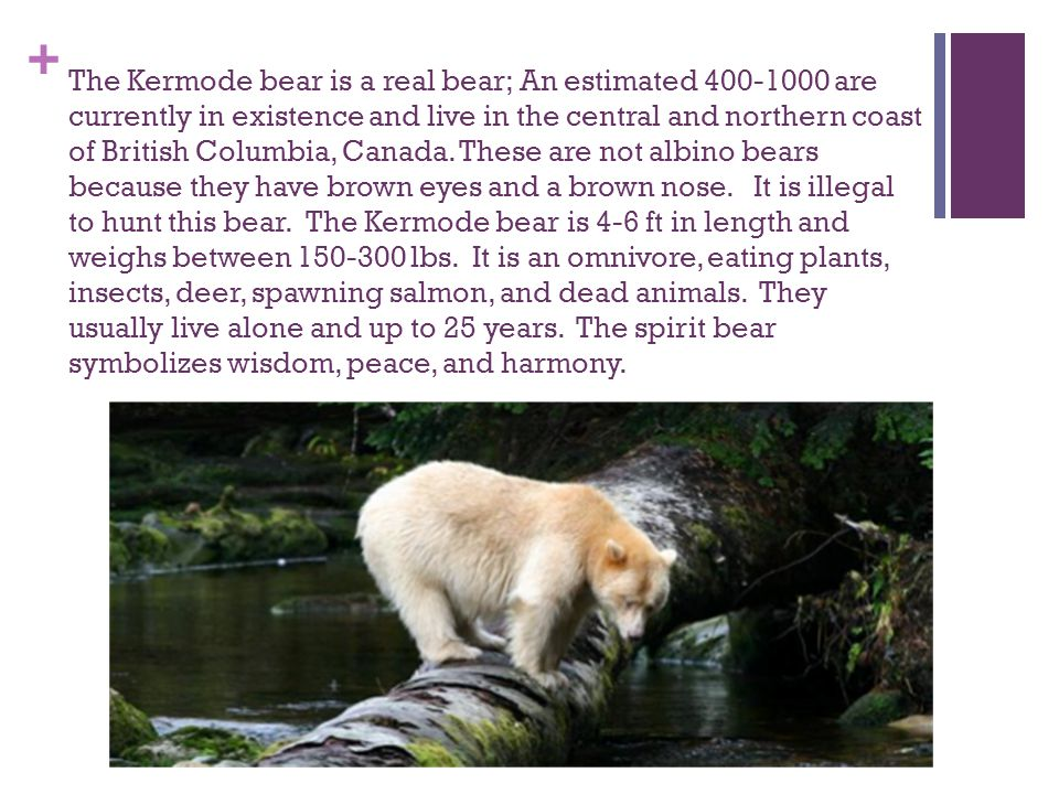 + The Kermode bear is a real bear; An estimated are currently in existence and live in the central and northern coast of British Columbia, Canada.