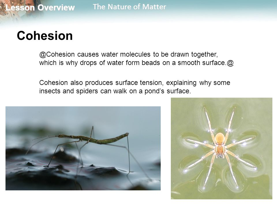 Lesson Overview Lesson Overview The Nature of Matter causes water molecules to be drawn together, which is why drops of water form beads on a smooth Cohesion also produces surface tension, explaining why some insects and spiders can walk on a pond's surface.