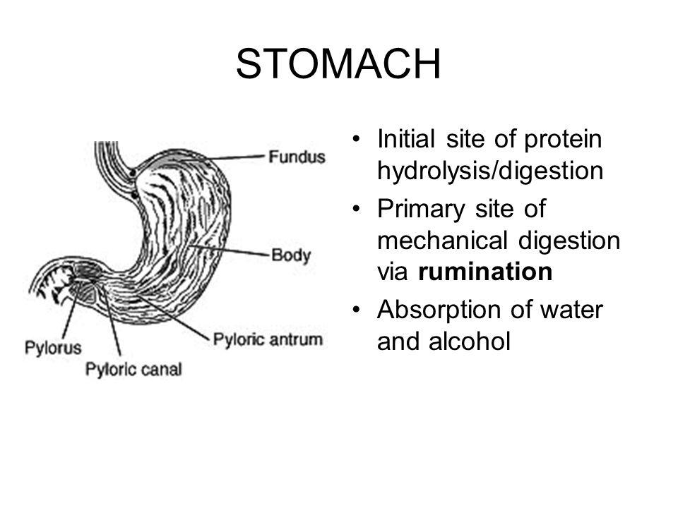 Anatomy & Physiology of Mechanical Digestion ANATOMY & PHYSIOLOGY ...