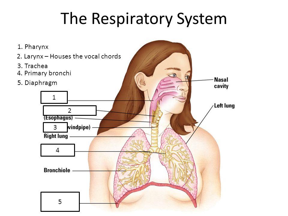The Respiratory System Pharynx 2. Larynx – Houses the vocal chords 3 ...