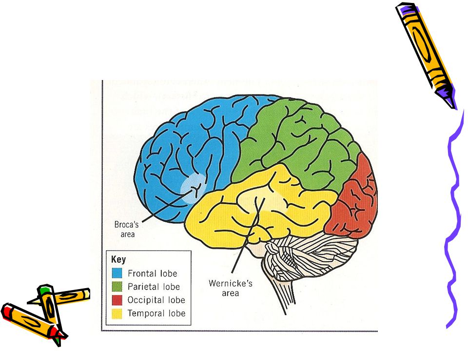 Hemispheric Specialisation The Cognitive And Behavioural Functions