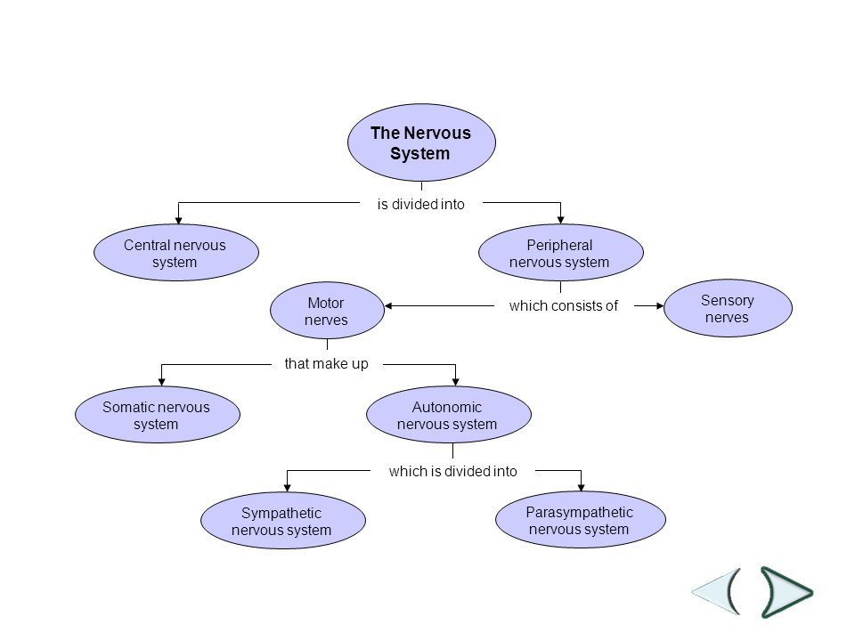 Concept Map which consists of is divided into that make up which is divided into Section 35-3 The Nervous System Sensory nerves Motor nerves Autonomic nervous system Somatic nervous system Central nervous system Peripheral nervous system Sympathetic nervous system Parasympathetic nervous system