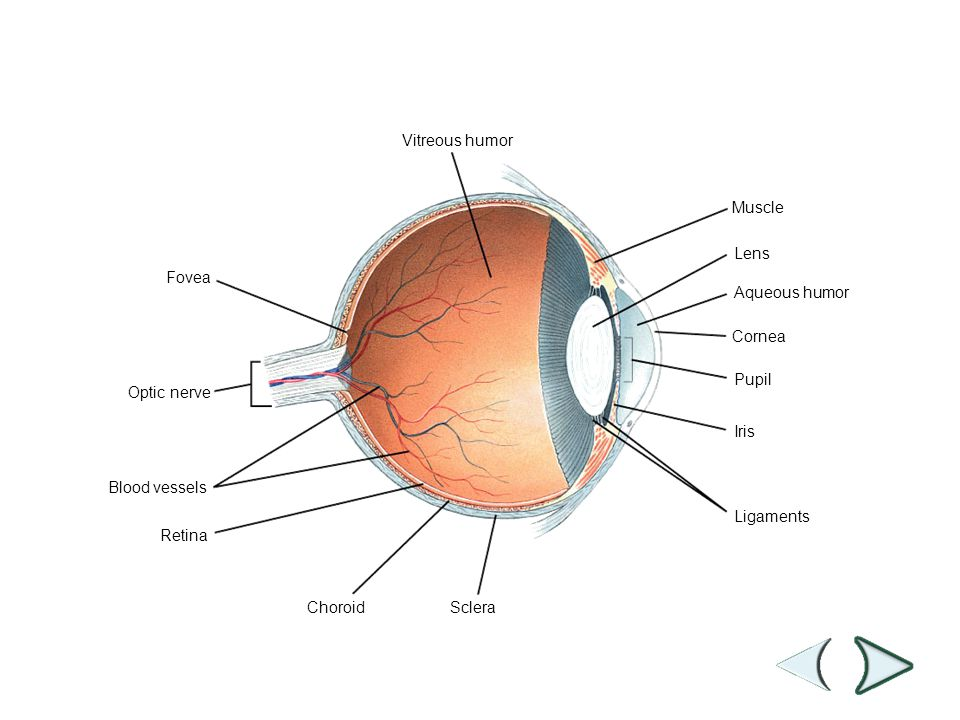 Choroid Retina Blood vessels Optic nerve Fovea Vitreous humor Sclera Ligaments Iris Pupil Cornea Aqueous humor Lens Muscle Section 35-4 Figure The Eye