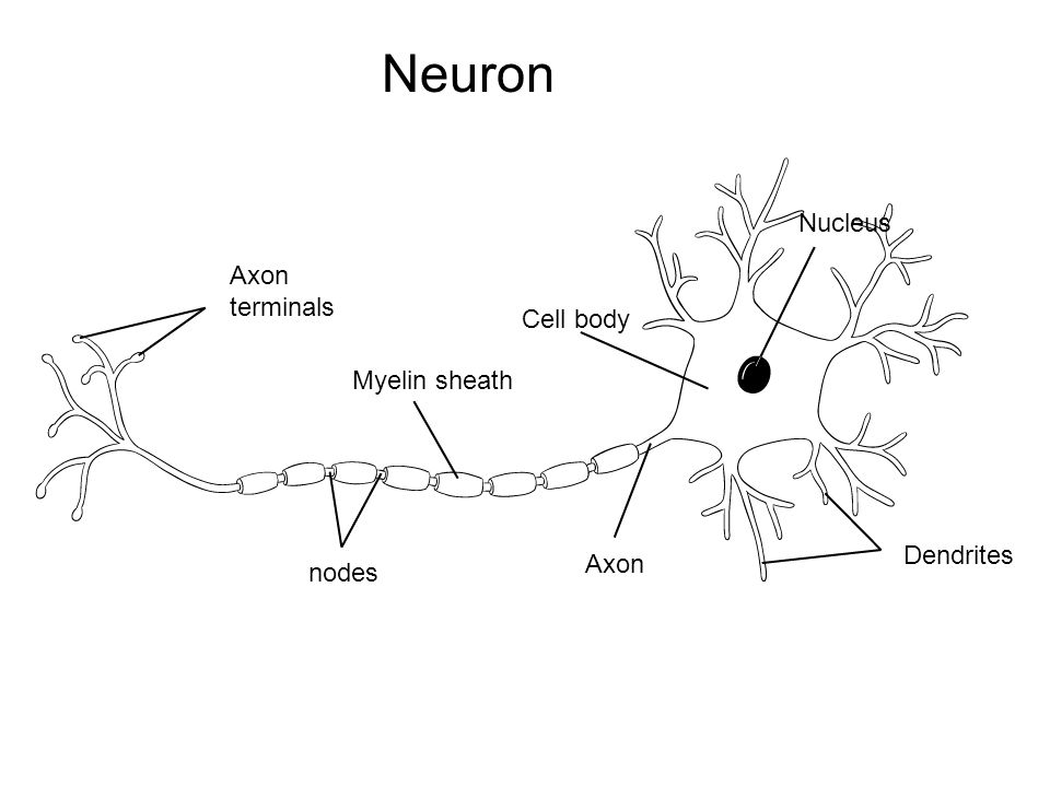Axon terminals Myelin sheath nodes Axon Cell body Nucleus Dendrites Neuron