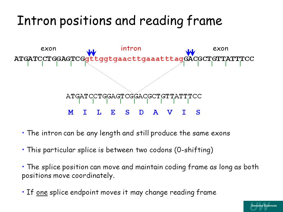 Intron positions and reading frame The intron can be any length and still produce the same exons This particular splice is between two codons (0-shifting) The splice position can move and maintain coding frame as long as both positions move coordinately.