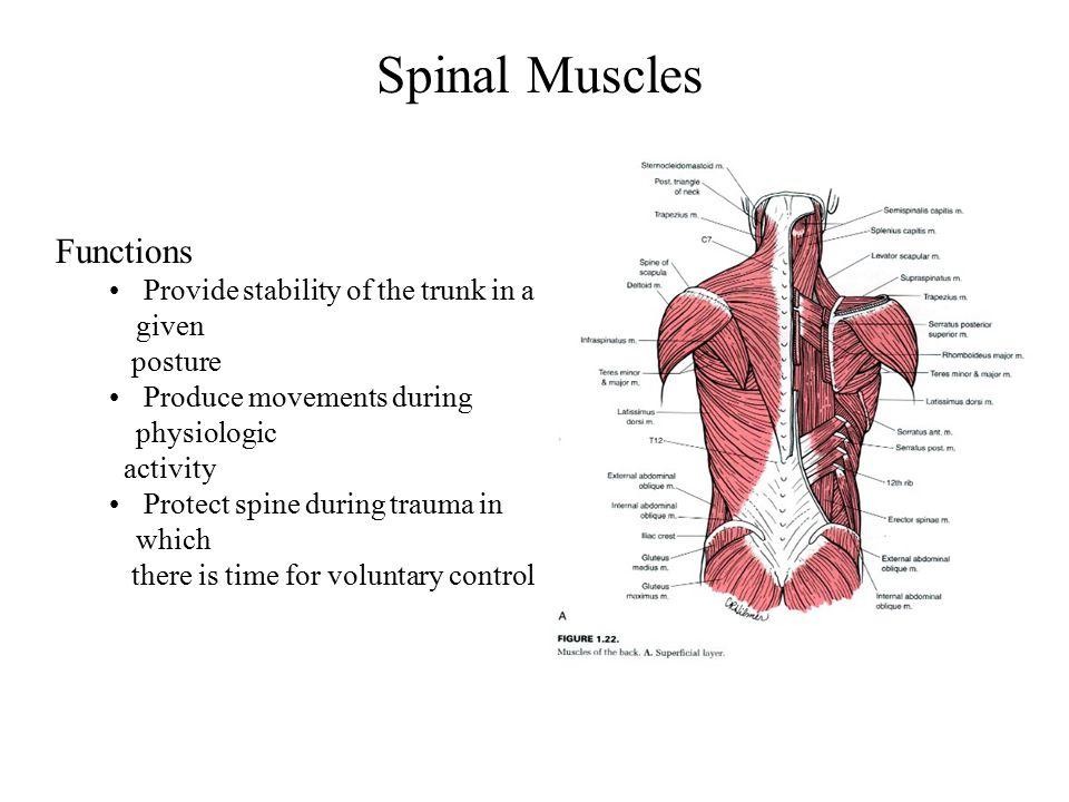 Introduction Spine Backbone Consisting Of 7 Cervical Vertebrae 12