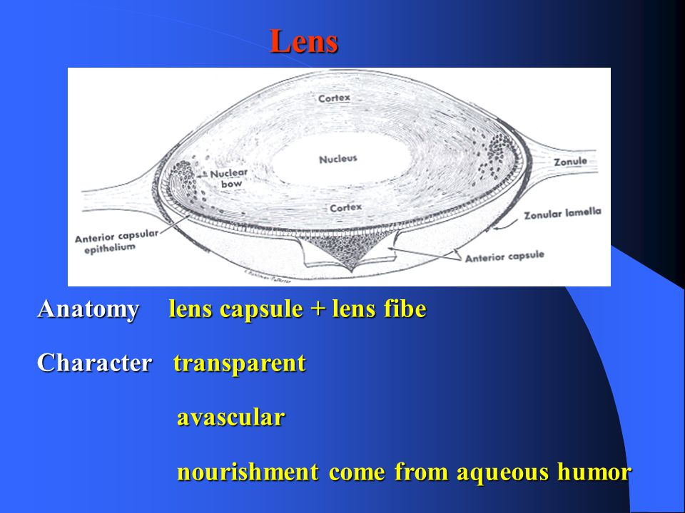 Dorable Anatomy Of Lens Crest - Anatomy And Physiology Biology ...