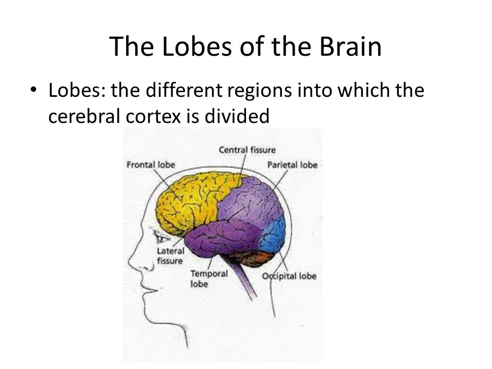 The Lobes of the Brain Lobes: the different regions into which the cerebral cortex is divided