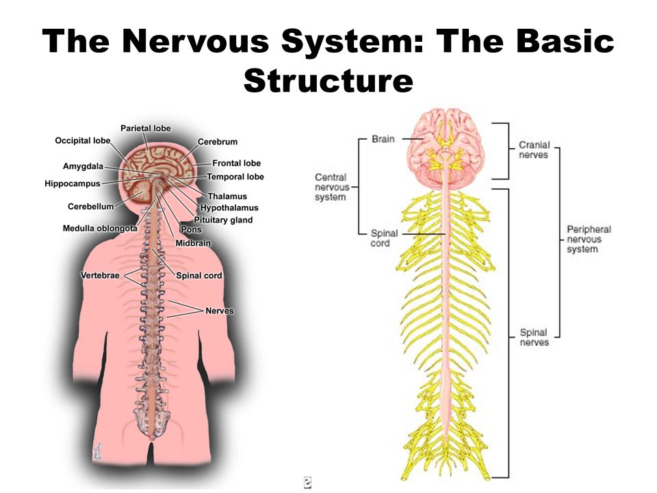 The Nervous System: The Basic Structure