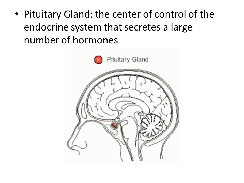 Pituitary Gland: the center of control of the endocrine system that secretes a large number of hormones